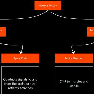 Nervous System Flowchart